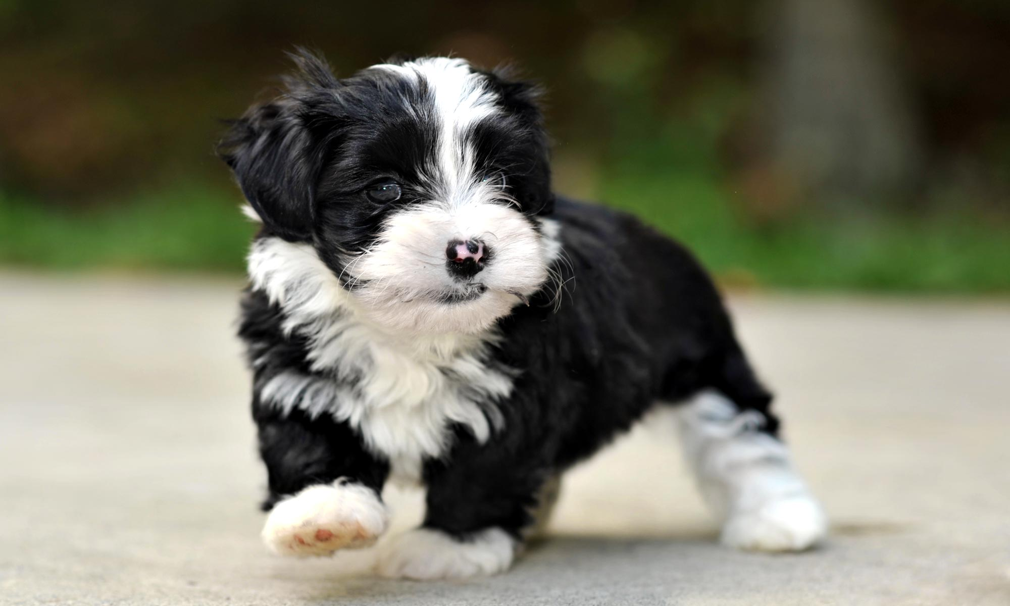 Willow Springs Havanese