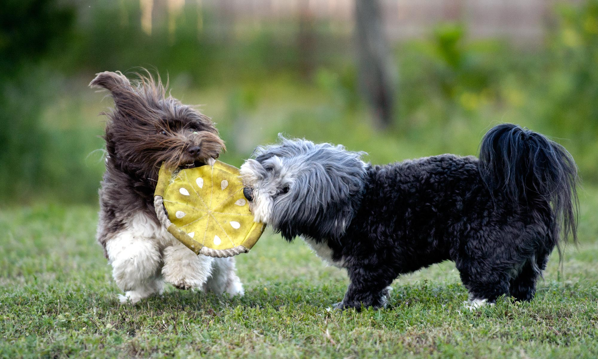 Havanese playing tug of war