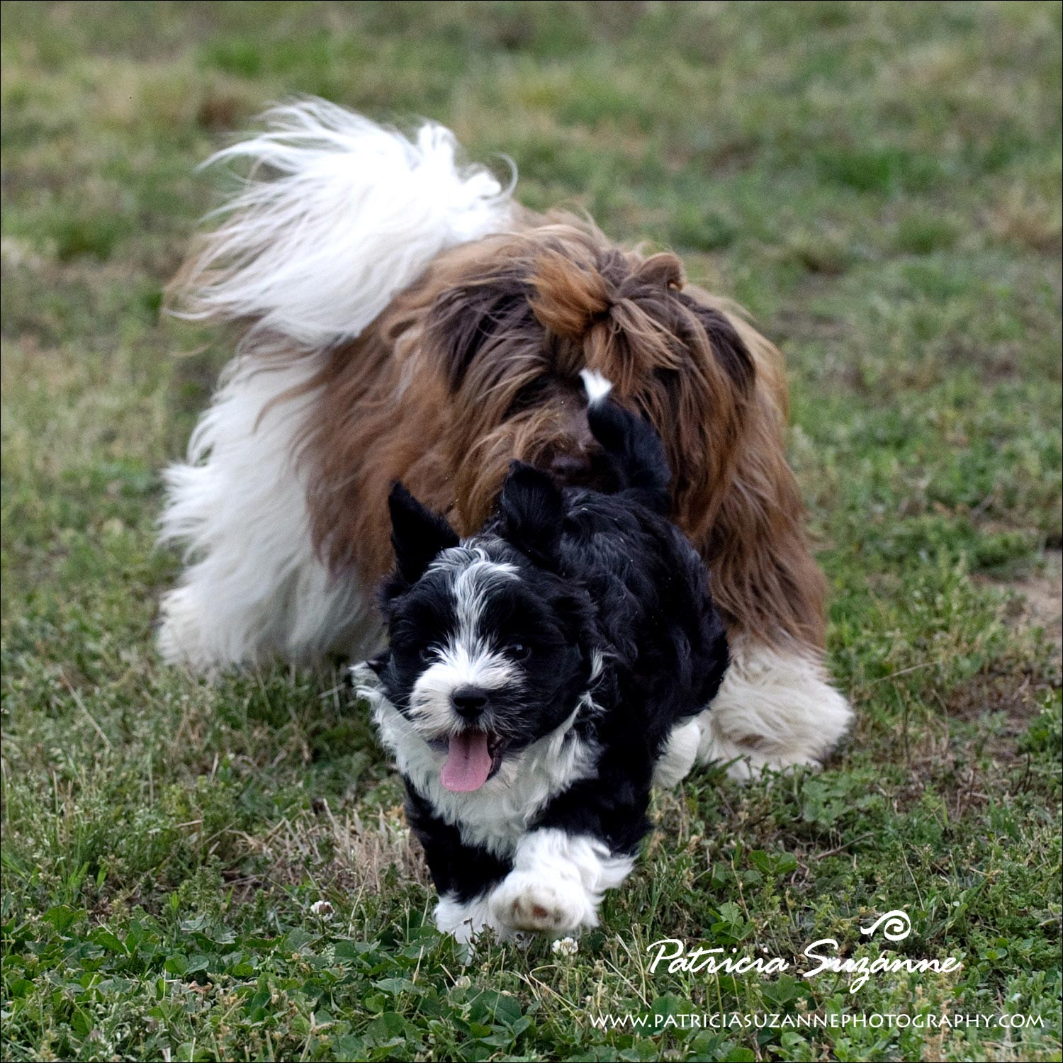 havanese puppies playing raleigh nc