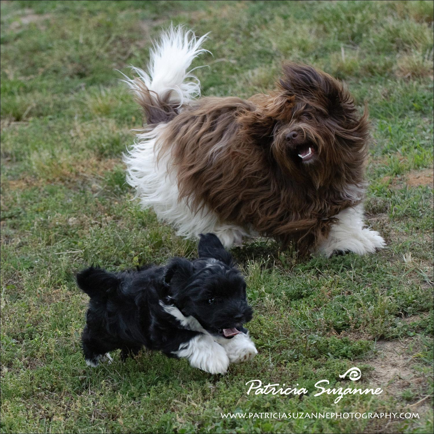 havanese puppies playing 2 raleigh nc