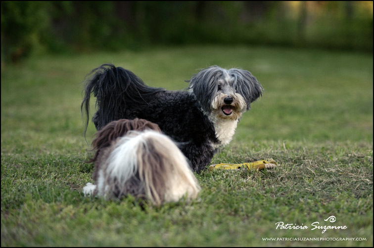 Havanese playing Raleigh NC