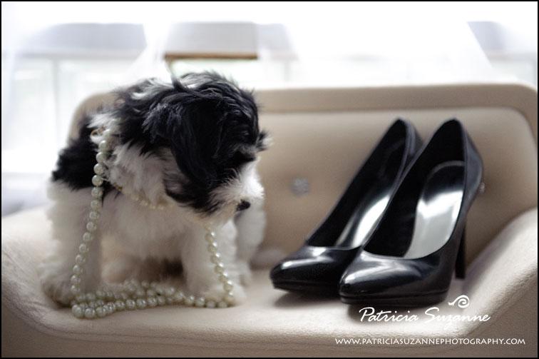 Havanese Puppy Raleigh NC