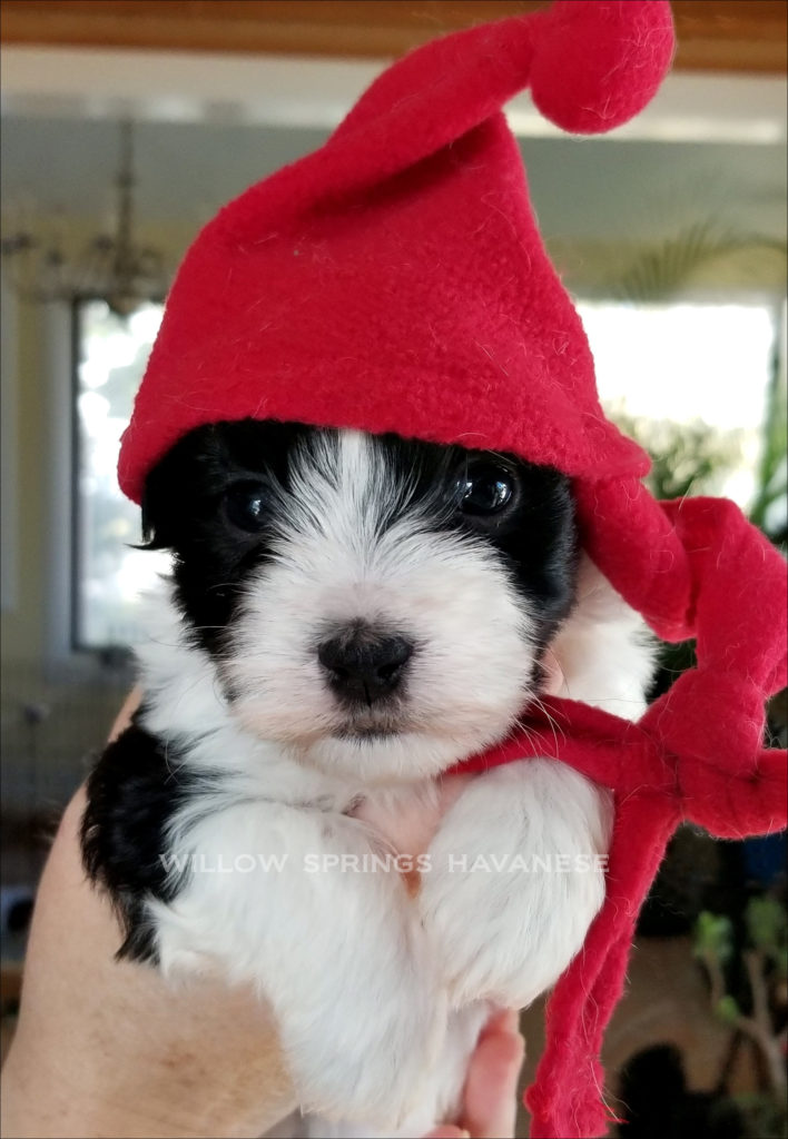 Havanese Puppy in Christmas Hat