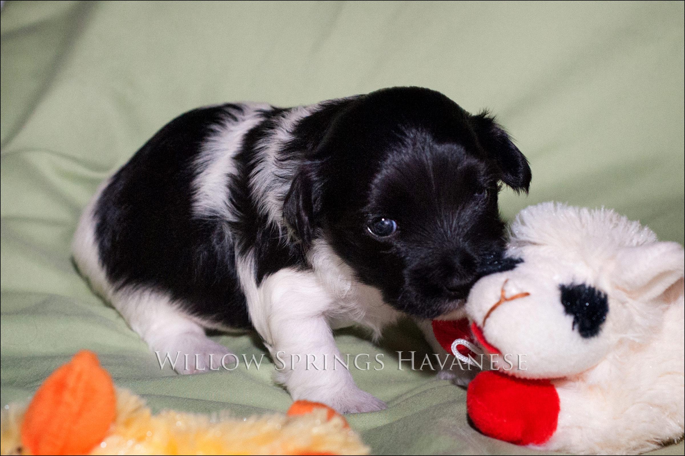 Raleigh Havanese Puppy